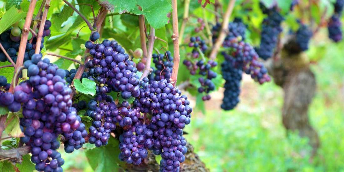 As propriedades oferecem visitas guiadas com apresentação de todo o processo de fabricação do vinho (Freepik/Divulgação)