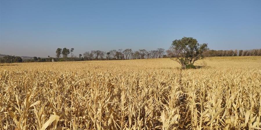 Plantação de milho de Reginaldo Massuia: clima quente e geada trouxeram prejuízos (Divulgação)