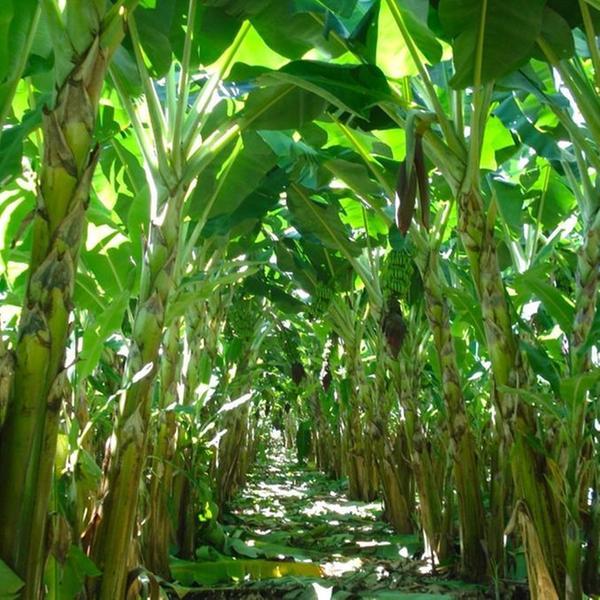 Técnicos vão alertar sobre doenças que podem destruir cultura da banana