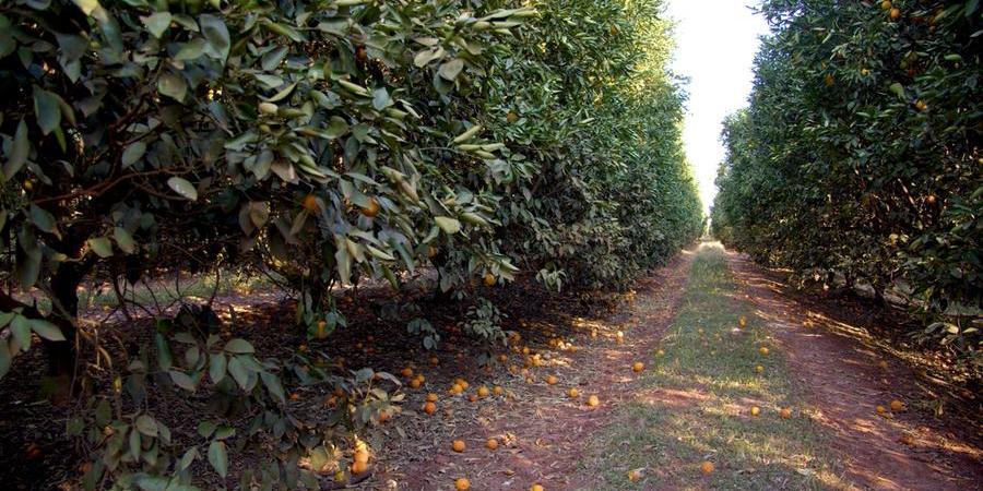 A seca implacável provocou alta queda dos frutos (Divulgação/Fundecitrus)
